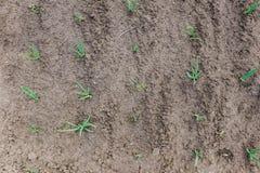 Πράσινη ανάπτυξη κρεμμυδιών στον κήπο Στοκ Εικόνες