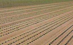 Πράσινη ανάπτυξη μαρουλιού στο αμμώδες χώμα σε ένα αγρόκτημα Στοκ εικόνα με δικαίωμα ελεύθερης χρήσης