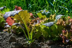 Πράσινη ανάπτυξη μεταμόσχευσης σαλάτας στον κήπο Στοκ Φωτογραφία
