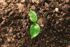 πράσινη ανάπτυξη νεαρών βλαστών στο δοχείο για τη φύτευση Στοκ Εικόνα