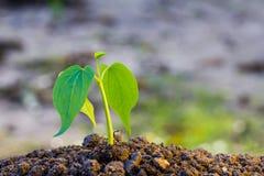 Πράσινη ανάπτυξη νεαρών βλαστών από το έδαφος Στοκ Εικόνα
