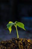 Πράσινη ανάπτυξη νεαρών βλαστών από το έδαφος Στοκ εικόνα με δικαίωμα ελεύθερης χρήσης