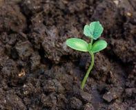 Πράσινη ανάπτυξη νεαρών βλαστών από το χώμα Στοκ Εικόνες