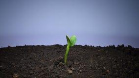 Πράσινη ανάπτυξη νεαρών βλαστών φυτικού κολοκυθιού απόθεμα βίντεο