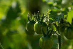 Πράσινη ανάπτυξη ντοματών στον κλαδίσκο Στοκ φωτογραφία με δικαίωμα ελεύθερης χρήσης