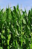 Πράσινη ανάπτυξη τομέων καλαμποκιού στο μπλε ουρανό Στοκ φωτογραφία με δικαίωμα ελεύθερης χρήσης