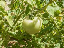 Πράσινη ανάπτυξη φρούτων ντοματών στην άμπελο Στοκ Εικόνες