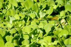 Πράσινη ανάπτυξη φυτών φύλλων σε μια λίμνη Στοκ Εικόνα