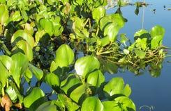 Πράσινη ανάπτυξη φυτών φύλλων στον μπλε ποταμό νερού Στοκ φωτογραφία με δικαίωμα ελεύθερης χρήσης