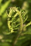 Πράσινη ανάπτυξη φύλλων φτερών Στοκ Εικόνα