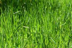 Πράσινη ανάπτυξη χλόης στον τομέα Στοκ Εικόνες