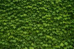 Πράσινη ανασκόπηση φύλλων αμπέλων Στοκ Φωτογραφία