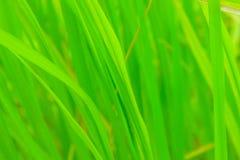 Πράσινη ανασκόπηση φύλλων ρυζιού. Στοκ Εικόνες
