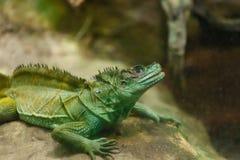 πράσινη απομονωμένη iguana σαύρα Στοκ Εικόνες