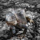 πράσινη απομονωμένη iguana σαύρα Στοκ φωτογραφίες με δικαίωμα ελεύθερης χρήσης