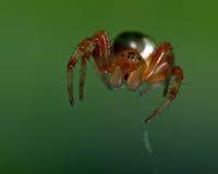 Πράσινη αράχνη αγγουριών, αρσενικό displicata Araniella Στοκ Φωτογραφία