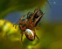 Πράσινη αράχνη αγγουριών, αρσενικό displicata Araniella Στοκ Εικόνες