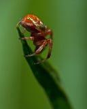 Πράσινη αράχνη αγγουριών, αρσενικό displicata Araniella Στοκ εικόνες με δικαίωμα ελεύθερης χρήσης