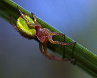 Πράσινη αράχνη αγγουριών, θηλυκό cucurbittina Araniella Στοκ φωτογραφίες με δικαίωμα ελεύθερης χρήσης