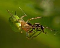 Πράσινη αράχνη αγγουριών, θηλυκό cucurbittina Araniella Στοκ Φωτογραφίες
