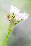 πράσινη αράχνη αγγουριών Στοκ εικόνα με δικαίωμα ελεύθερης χρήσης