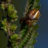 Πράσινη αράχνη αγγουριών, displicata Araniella Στοκ Φωτογραφία