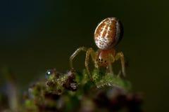 Πράσινη αράχνη αγγουριών, displicata Araniella Στοκ Εικόνες