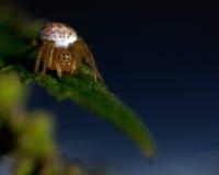 Πράσινη αράχνη αγγουριών, displicata Araniella Στοκ Φωτογραφίες