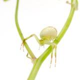 πράσινη αράχνη καβουριών Στοκ Φωτογραφίες