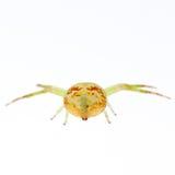 πράσινη αράχνη καβουριών Στοκ Εικόνες