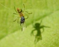 Πράσινη αράχνη και η σκιά στοκ φωτογραφίες με δικαίωμα ελεύθερης χρήσης