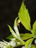 Πράσινη αράχνη σφαίρα-υφαντών στις εγκαταστάσεις σμέουρων - Araniella Στοκ Φωτογραφία