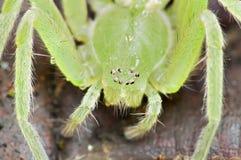 πράσινη αράχνη Στοκ Εικόνα