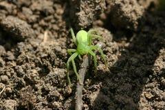 Πράσινη αράχνη Στοκ Φωτογραφίες