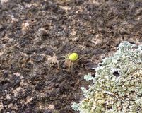 πράσινη αράχνη Στοκ Φωτογραφία