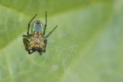 πράσινη αράχνη cucurbitina αγγουριών Στοκ φωτογραφίες με δικαίωμα ελεύθερης χρήσης