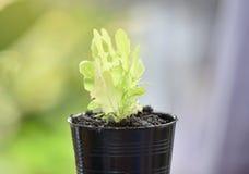 πράσινη βαλανιδιά μαρουλ&i Στοκ Εικόνες