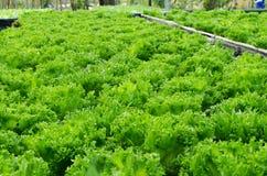 Πράσινη βαλανιδιά στοκ φωτογραφίες