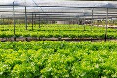 Πράσινη βαλανιδιά Hydroponics στο αγρόκτημα Στοκ Εικόνες