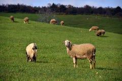 Πρόβατα στο λιβάδι που τρώνε τη χλόη Στοκ Εικόνες
