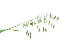 πράσινη βρώμη panicle Στοκ εικόνα με δικαίωμα ελεύθερης χρήσης