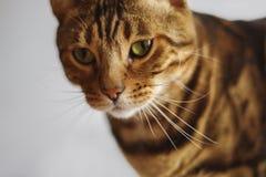 Πράσινη γάτα ματιών της Βεγγάλης Στοκ εικόνες με δικαίωμα ελεύθερης χρήσης