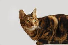 Πράσινη γάτα ματιών της Βεγγάλης Στοκ φωτογραφίες με δικαίωμα ελεύθερης χρήσης