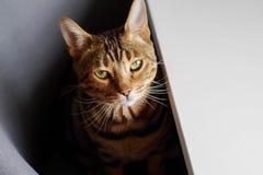 Πράσινη γάτα ματιών της Βεγγάλης Στοκ Εικόνες