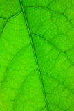 πράσινη δομή φύλλων Στοκ Φωτογραφίες