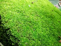 Πράσινη λειχήνα στοκ εικόνα