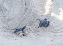 Πράσινη εκκόλαψη χελωνών Στοκ Εικόνες