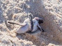 Πράσινη εκκόλαψη χελωνών Στοκ φωτογραφία με δικαίωμα ελεύθερης χρήσης