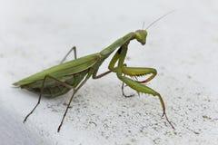 Πράσινη επίκληση Mantis Στοκ εικόνα με δικαίωμα ελεύθερης χρήσης
