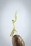 Πράσινη επίκληση Mantis κινηματογραφήσεων σε πρώτο πλάνο στο ραβδί Στοκ Εικόνες